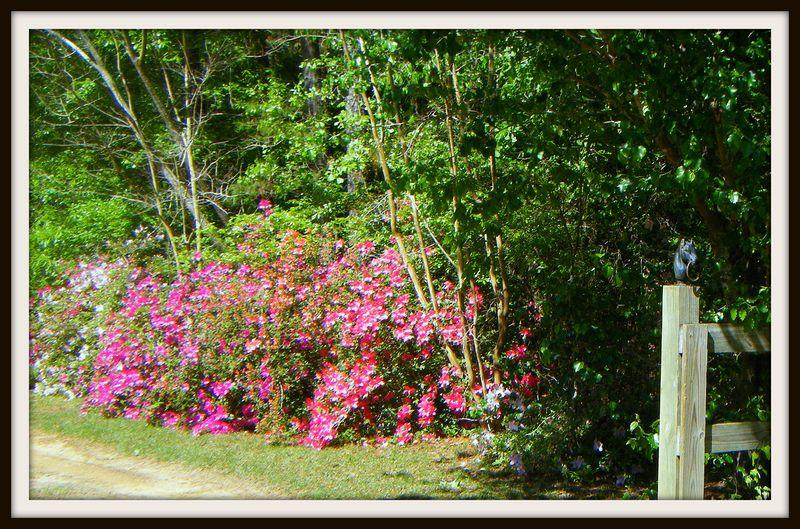 Fence azaleas